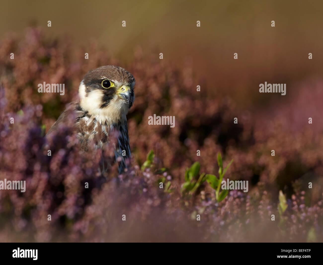 Hobby (Falco subbuteo) Photo Stock