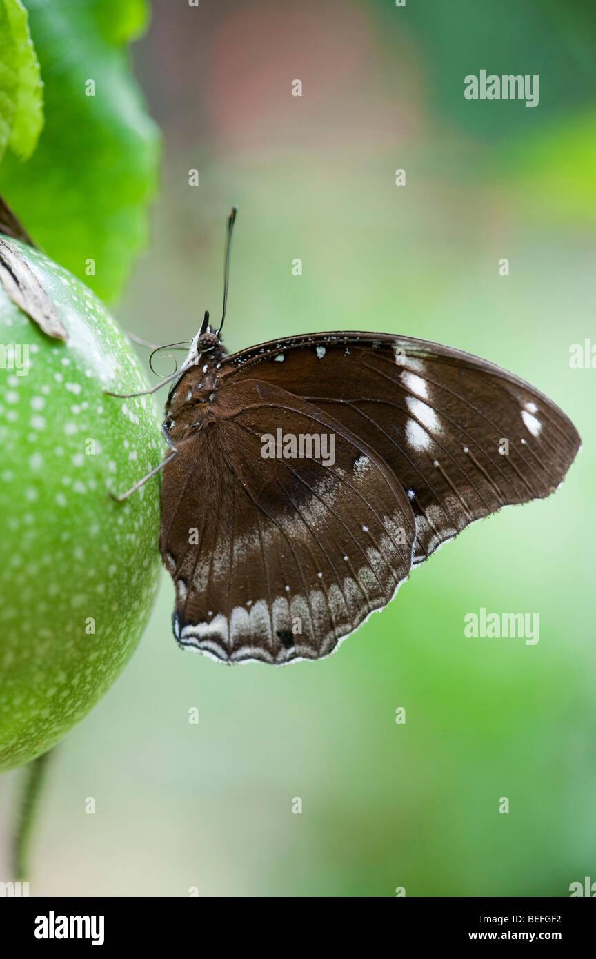 Hypolimnas bolina. Le grand papillon Gold Music reposant sur une fleur de la passion les fruits de la campagne indienne. Photo Stock