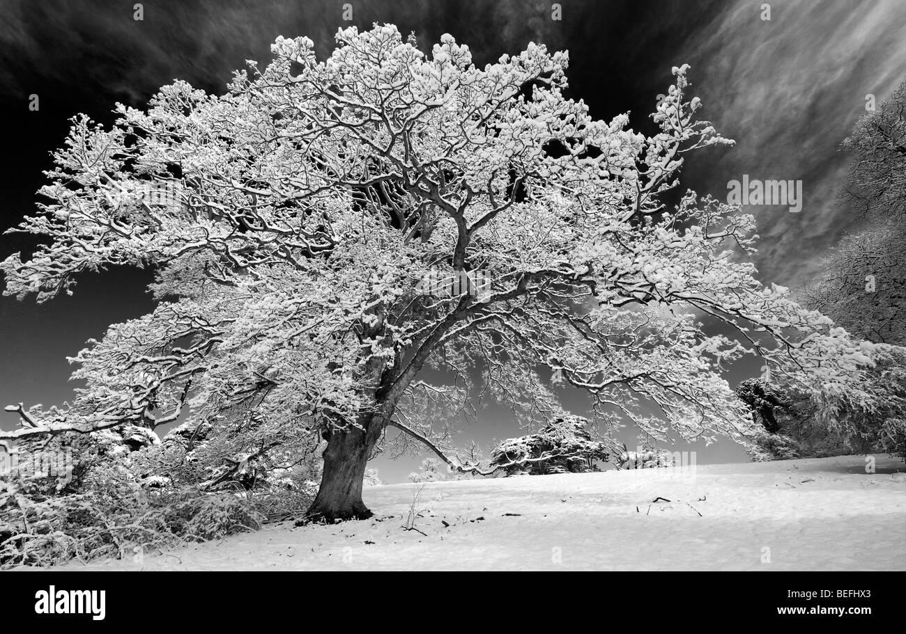 Arbre de chêne couvertes de neige dans la campagne anglaise. Noir et blanc avec un filtre rouge à contraste élevé Banque D'Images