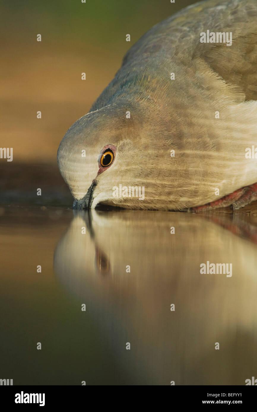 À pointe blanche colombe (Leptotila verreauxi),des profils de boire, Rio Grande Valley, Texas, États-Unis Photo Stock