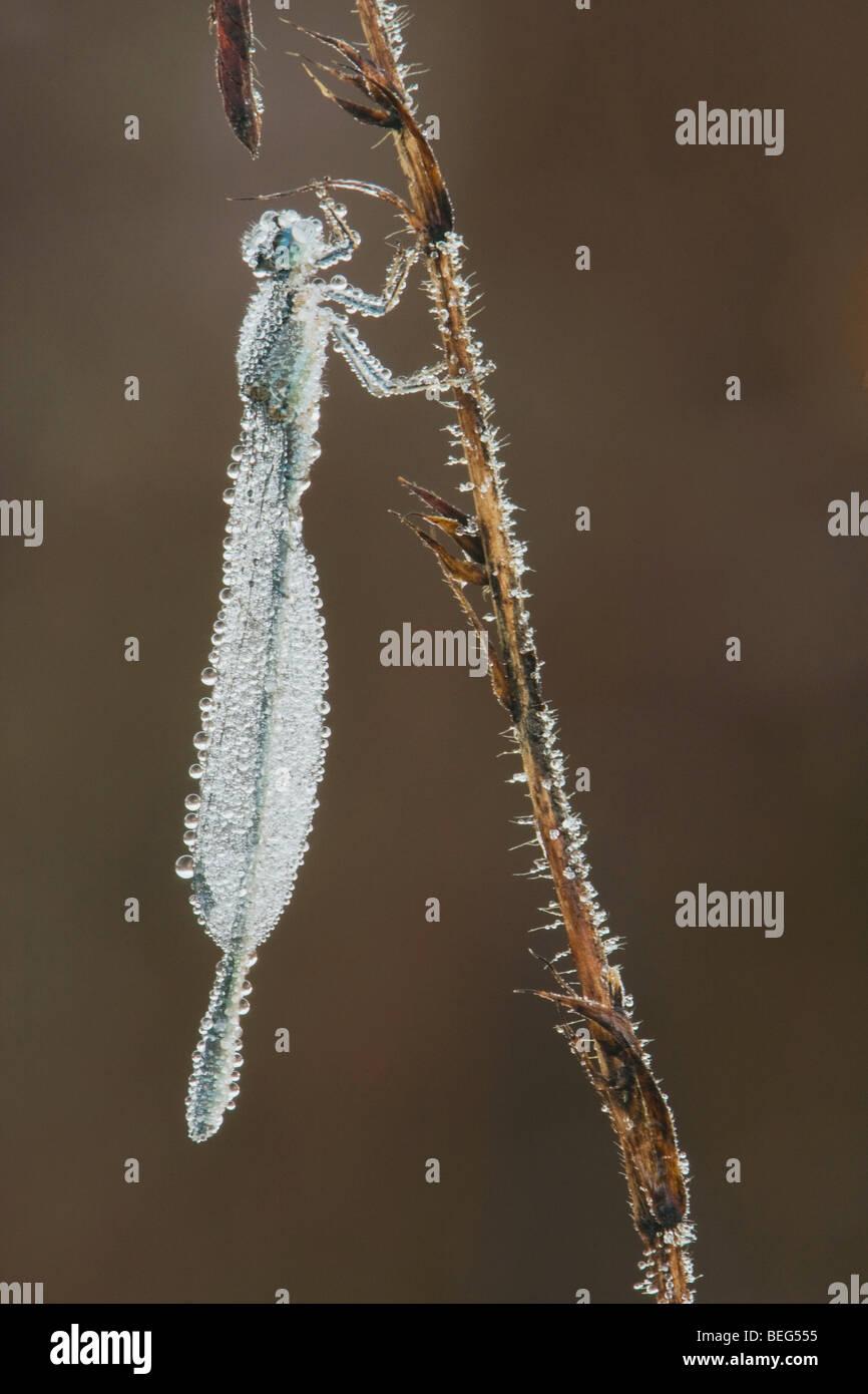 Le bout bleu Dancer (Argia tibialis), les femmes couvertes de glace accrochée à la végétation, Photo Stock
