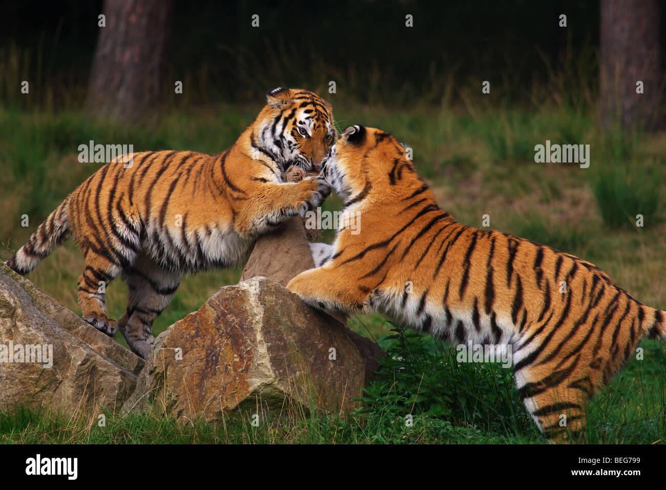 Deux tigres de Sibérie en face d'une forêt sombre Photo Stock