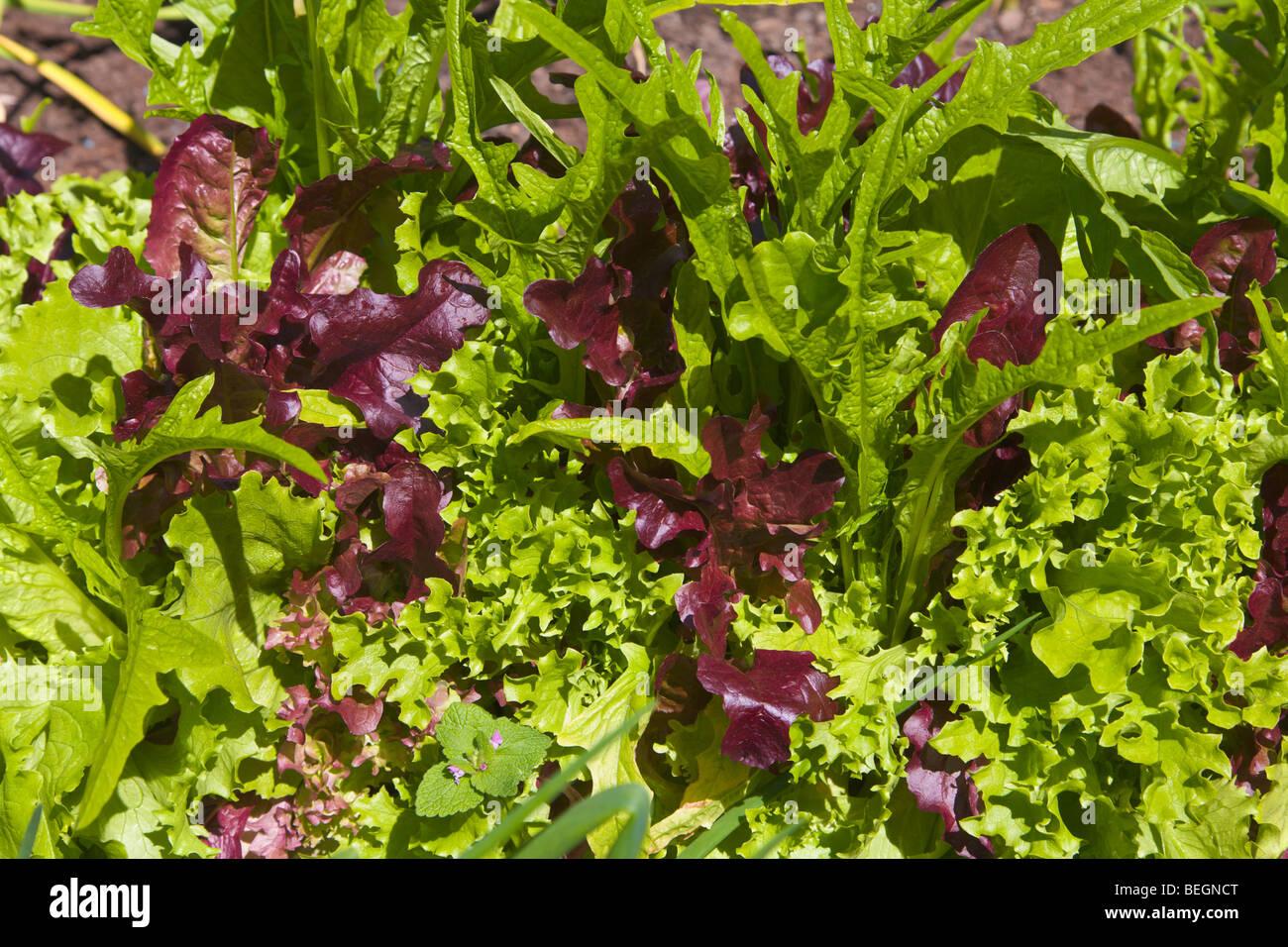 'Couper et reviens' salad leaves growing Photo Stock