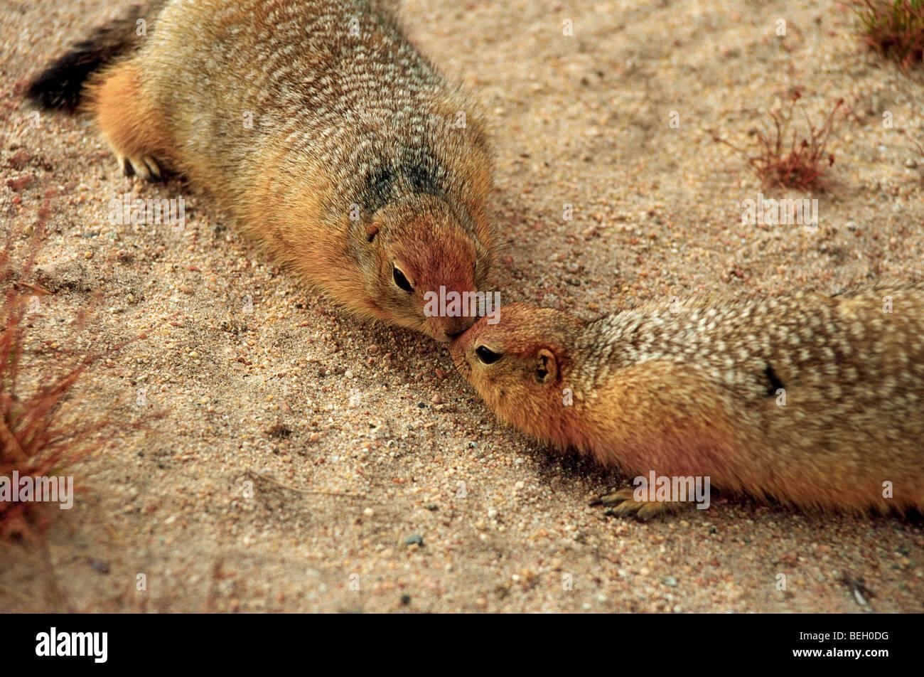 Deux siksiks, Spermophilus parryii, petits rongeurs de l'Arctique, rencontrez sur le sable de la toundra au Photo Stock