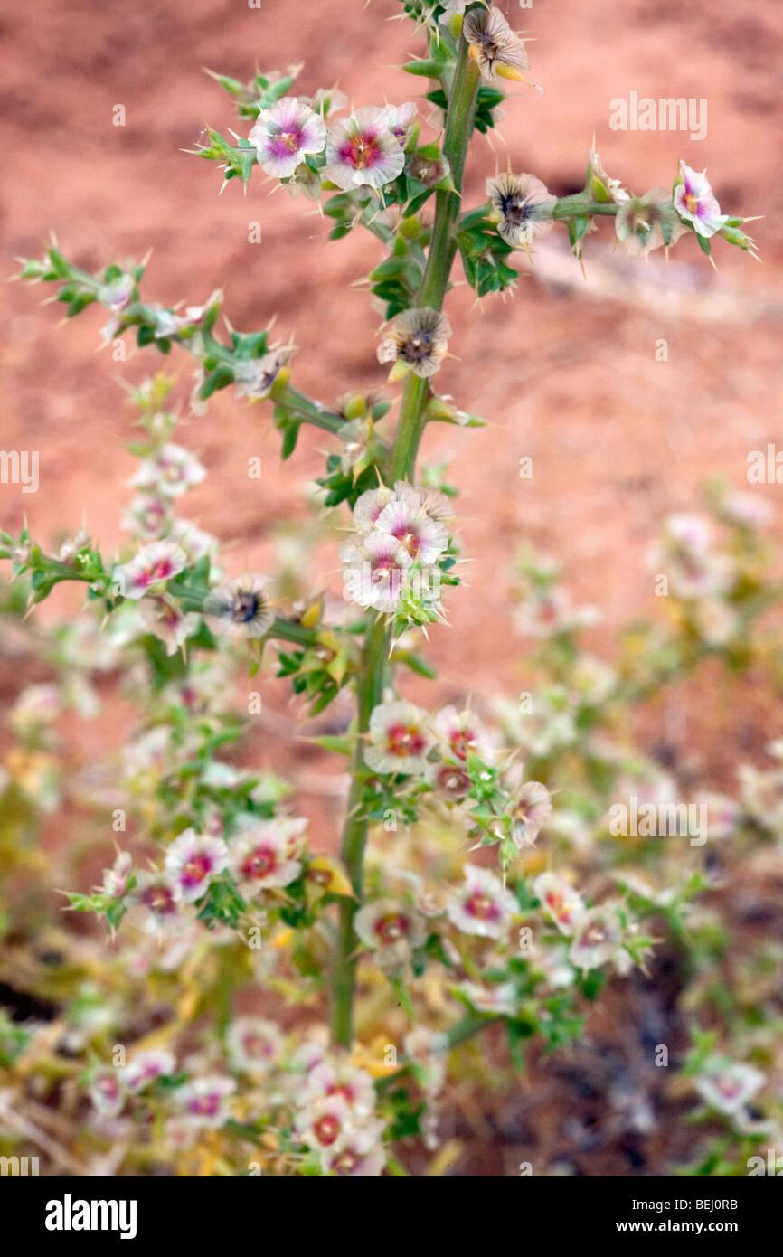 Plante épineuse que l'on trouve couramment sur les rives du lac Powell, Utah Photo Stock
