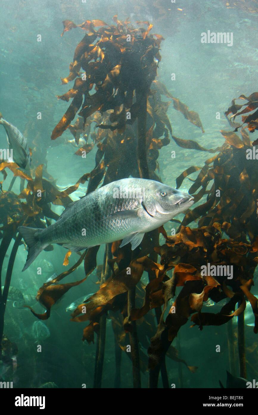 Les poissons de nager dans les forêts de laminaires à Two Oceans Aquarium, Cape Town, Afrique du Sud Photo Stock