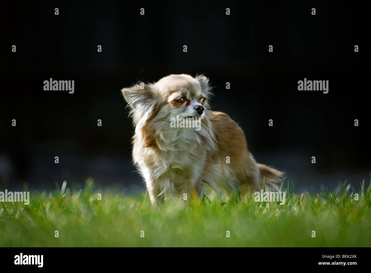 Chihuahua chien sur pelouse au jardin Photo Stock