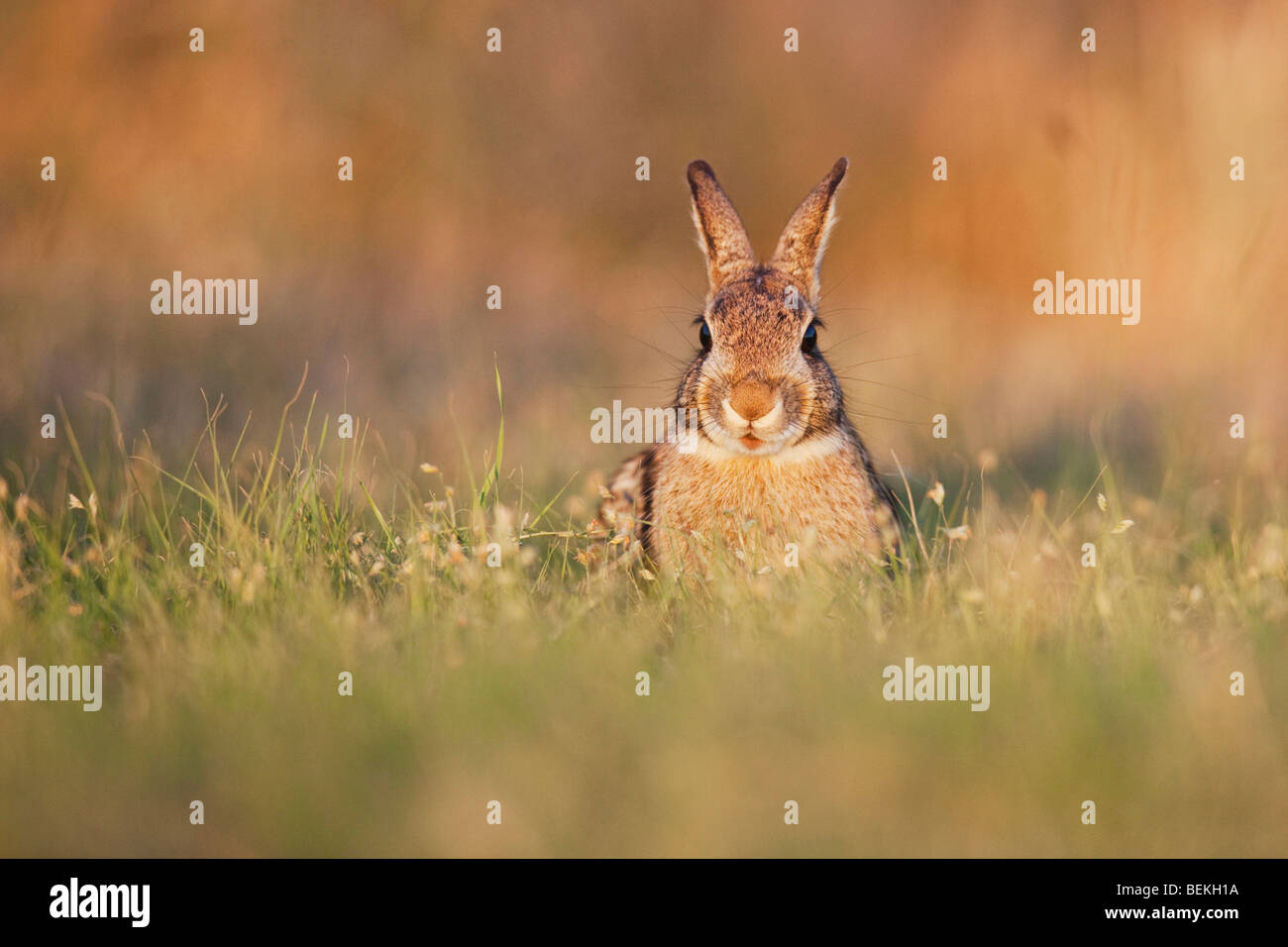Lapin (Sylvilagus floridanus), adulte, Sinton, Corpus Christi, Coastal Bend, Texas, États-Unis Photo Stock