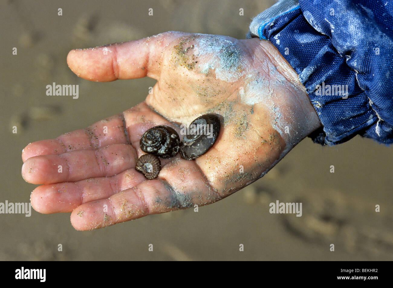 Fossiles d'ammonites fossilisées dans la main, Cap Blanc Nez, la Côte d'Opale, France Photo Stock