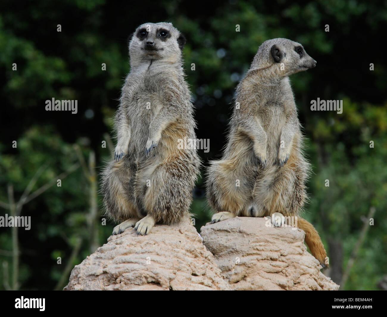 Deux suricates l'un à la recherche d'une façon l'un à l'autre, différents points Photo Stock