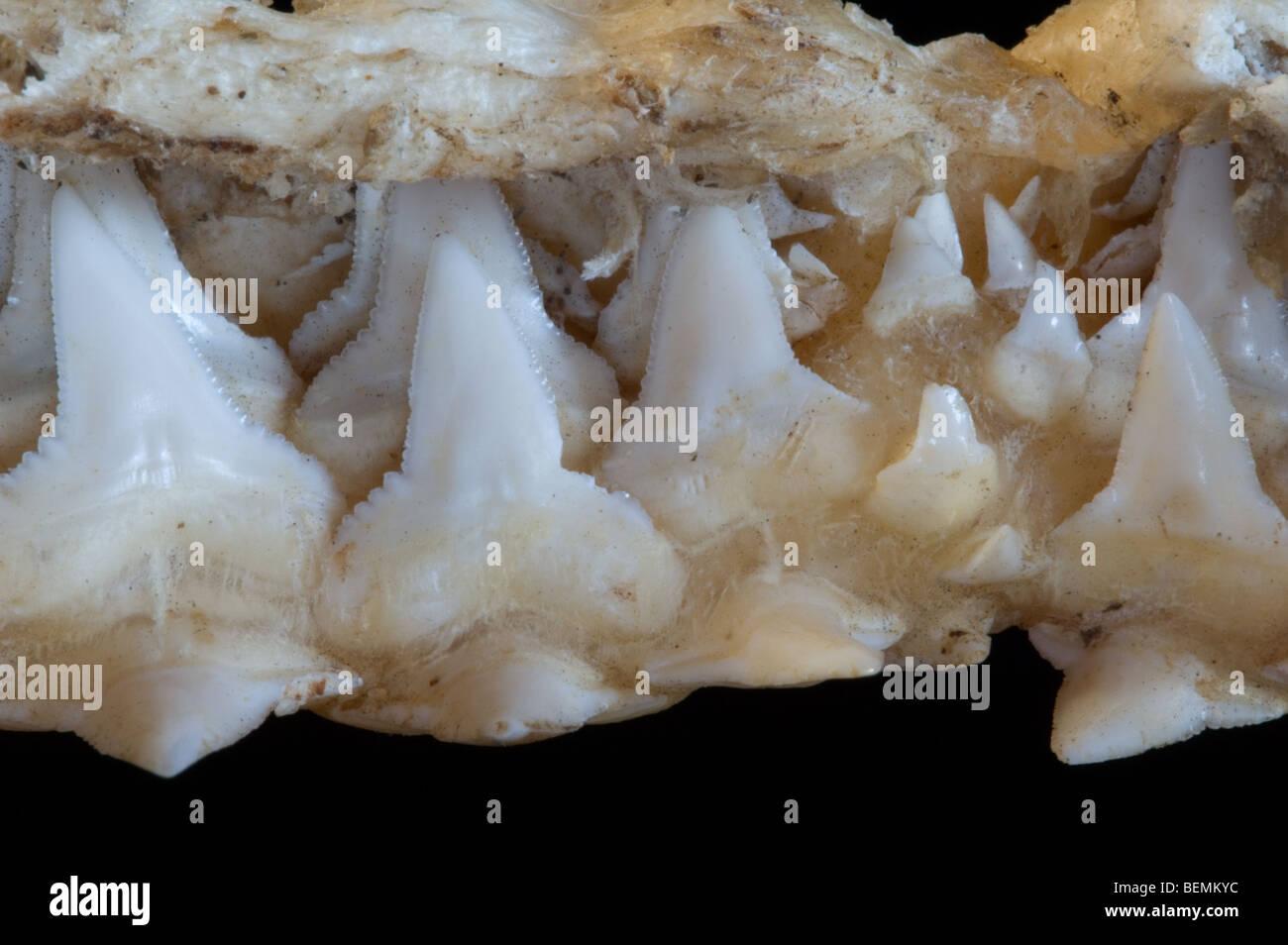 Mâchoire supérieure requin montrant plusieurs couches de dents de scie, Madagascar Banque D'Images