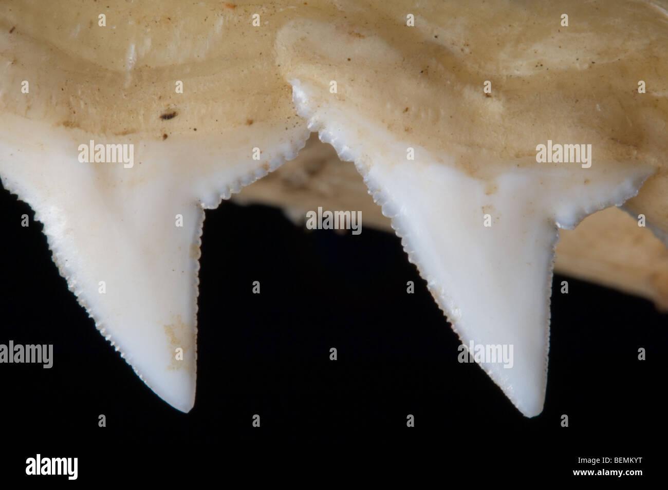 Mâchoire supérieure requin montrant les dents de scie, Madagascar Banque D'Images