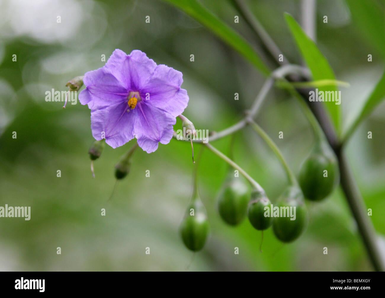 Fleur Et Fruits Veneneux Du Kangourou Apple Poroporo Ou Bullibulli