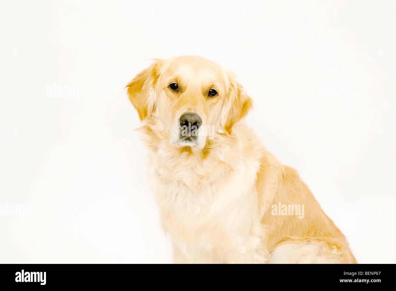 Golden Retriever à la recherche à l'appareil photo Photo Stock