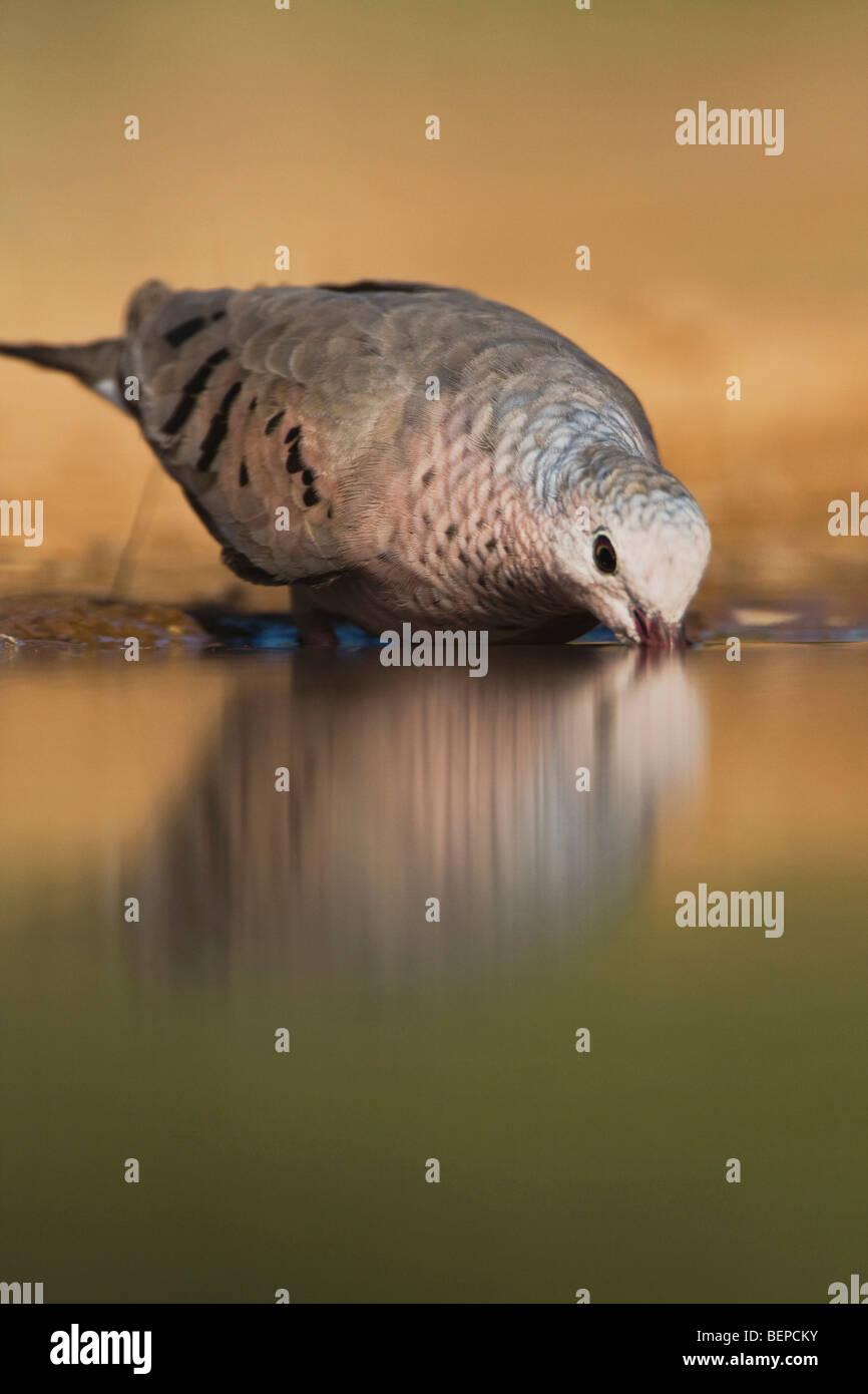 Columbina passerina Common Ground-Dove, adultes, de boire, de Rio Grande Valley, California, USA Photo Stock