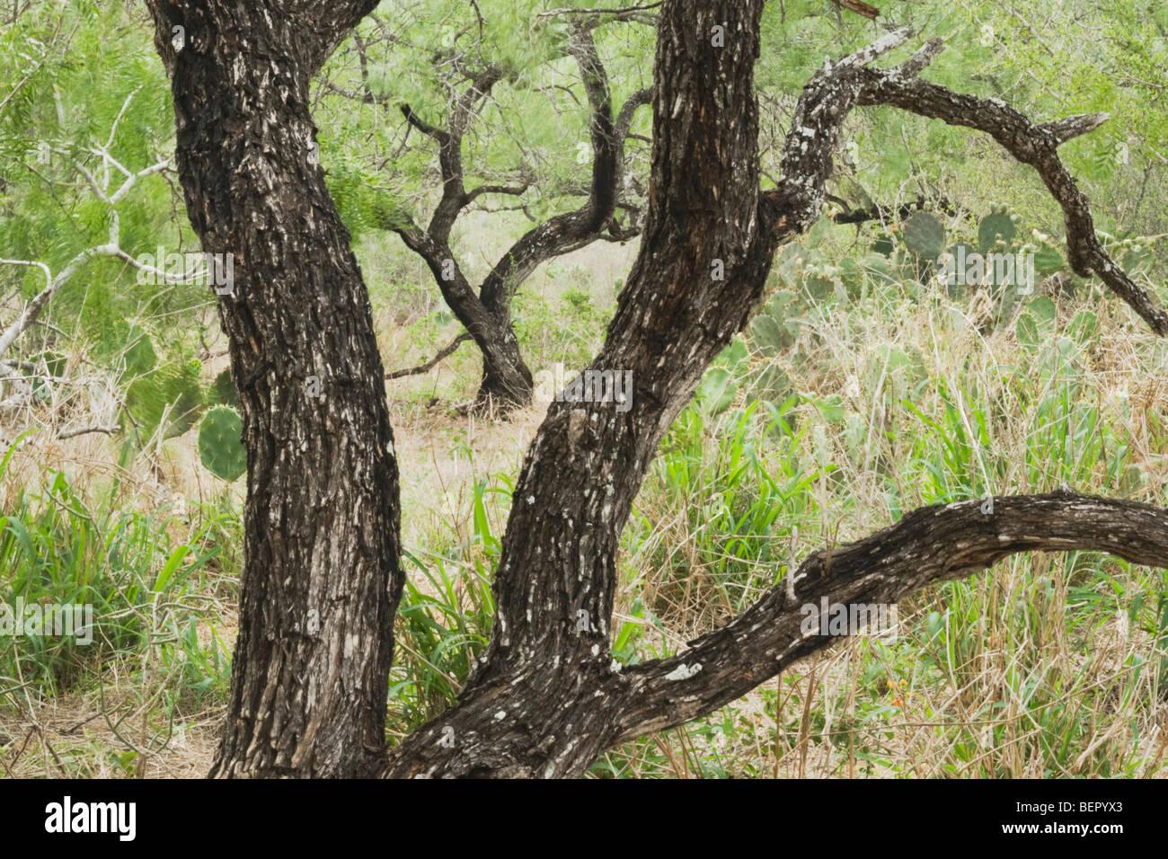 Le miel d'arbres mesquite (Prosopis glandulosa), vallée du Rio Grande, au Texas, USA Banque D'Images
