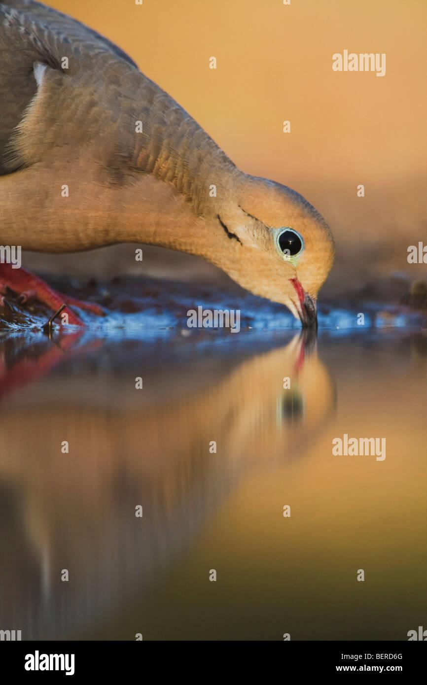 La tourterelle triste (Zenaida macroura),des profils de boire, Rio Grande Valley, Texas, États-Unis Photo Stock