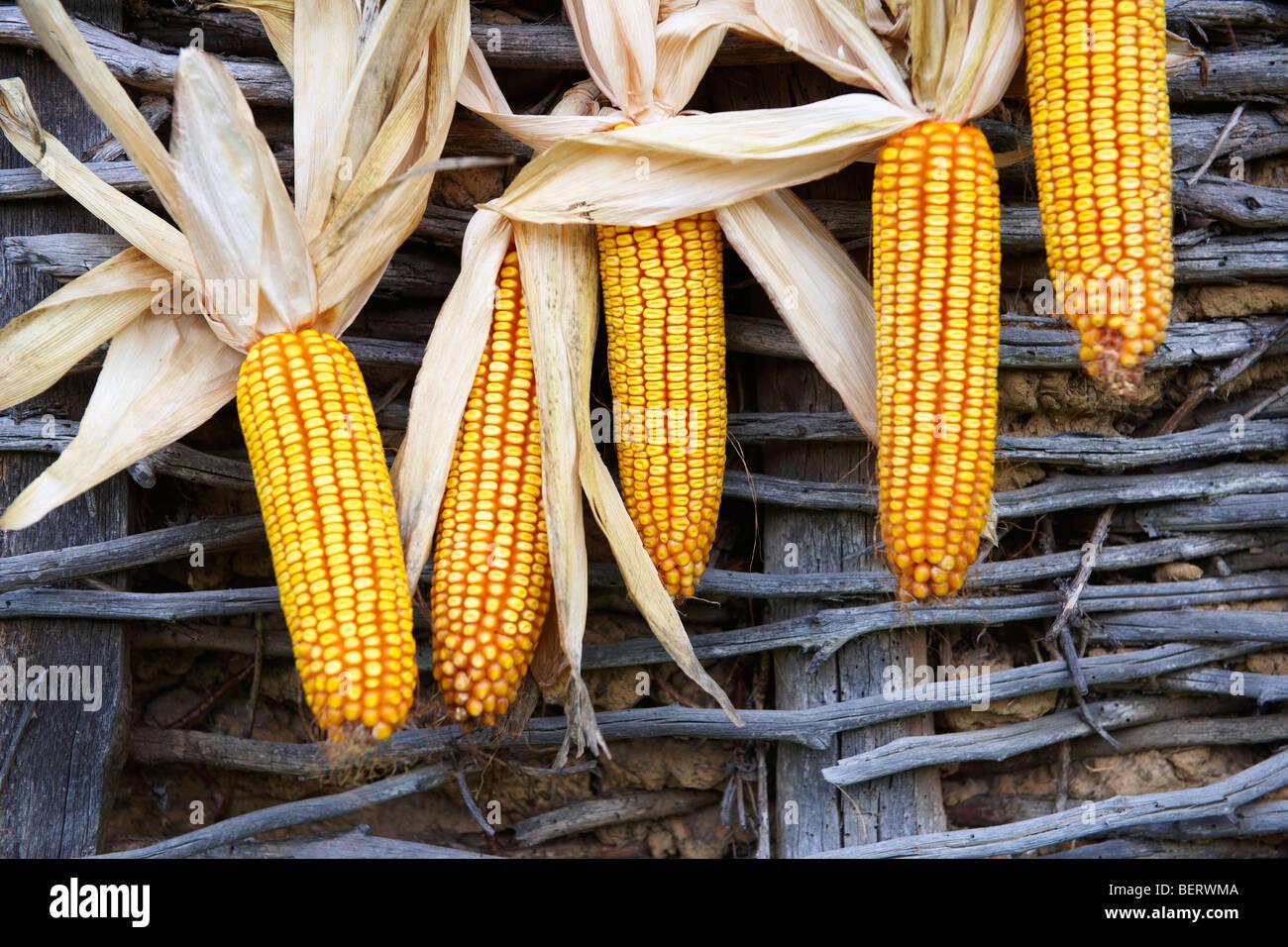 Épis de maïs séchage - Hongrie Photo Stock