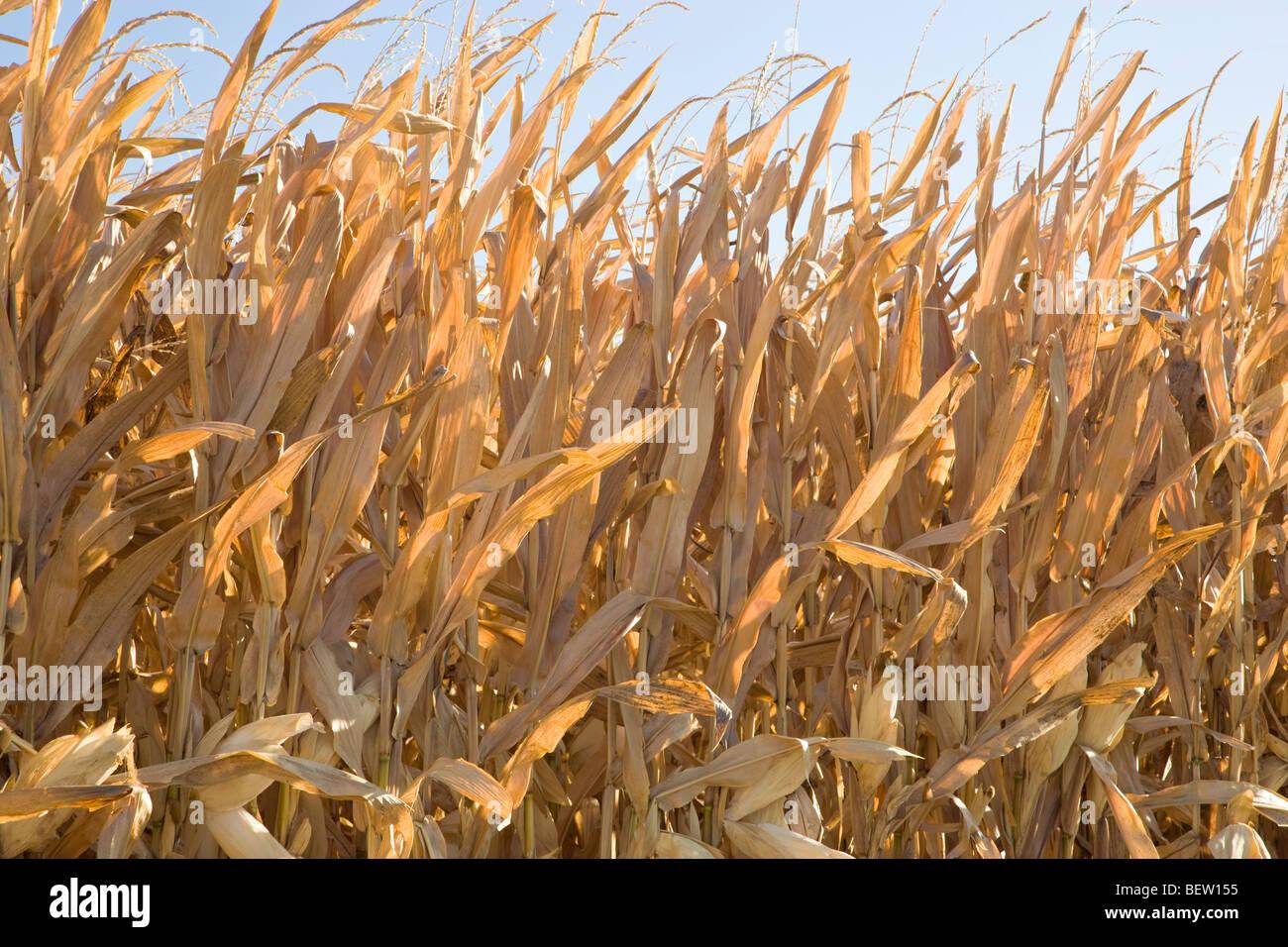 Les tiges de maïs sèches standing in field contre un ciel bleu. Photo Stock