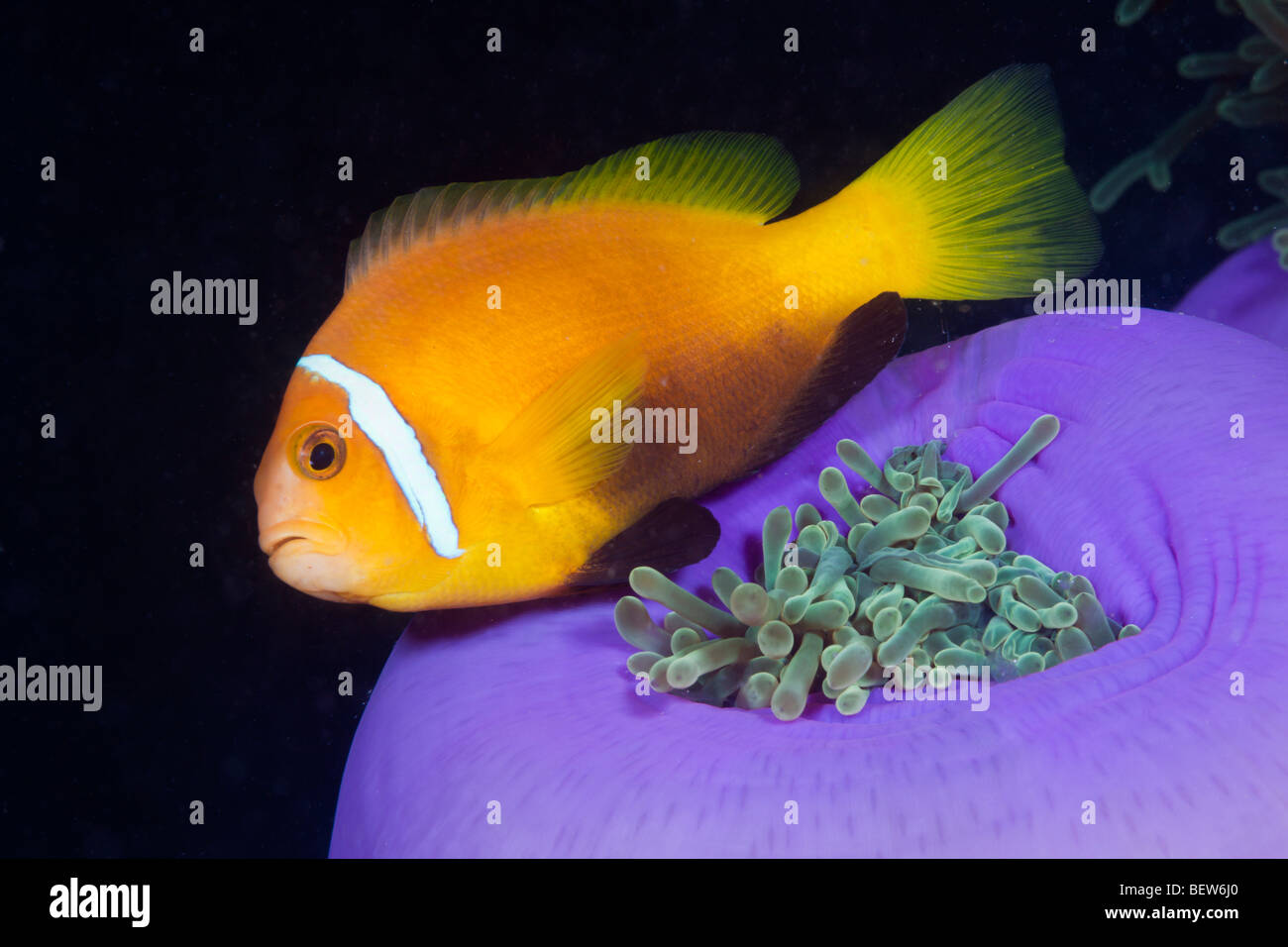 Les Maldives poisson clown Anémone magnifique Amphiprion nigripes Heteractis magnifica South Male Atoll Maldives Photo Stock