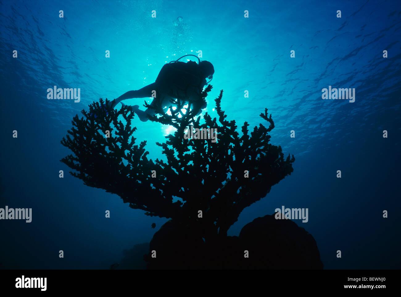 Scuba Diver explore les récifs coralliens. Sinaï, Egypte - Mer Rouge Photo Stock