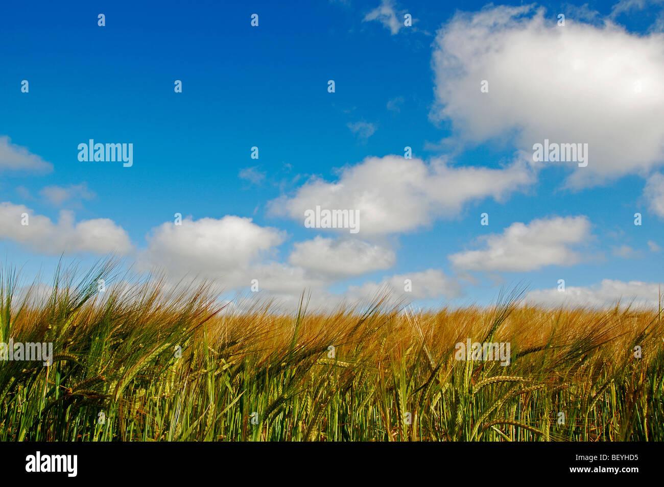 Un champ de blé dans le Cheshire, Angleterre, Royaume-Uni Photo Stock