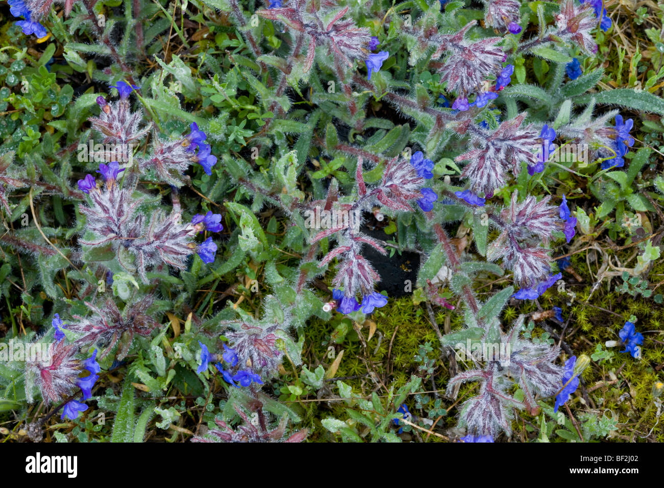 Alkanna Tinctoria Seeds dyers alkanet photos & dyers alkanet images - alamy