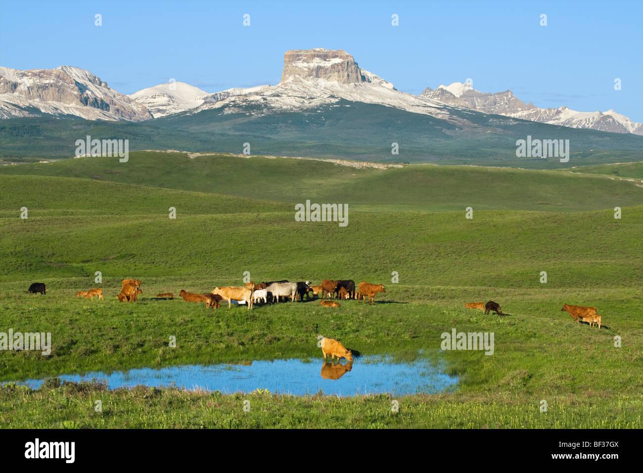 Races mixtes de vaches et veaux monter à côté d'un étang après le lever du soleil dans Photo Stock