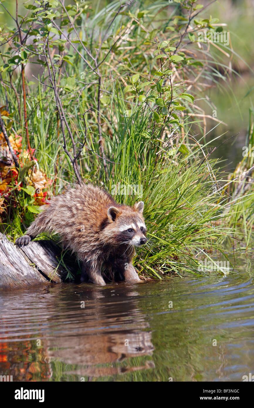 Le raton laveur (Procyon lotor) laver les aliments dans l'eau. Photo Stock