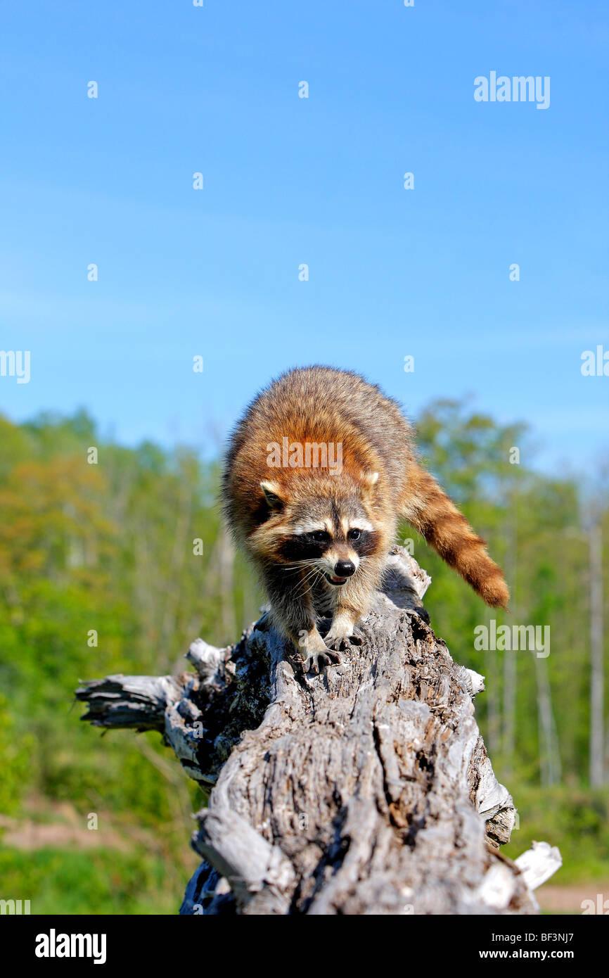 Le raton laveur (Procyon lotor) debout sur une souche d'arbre. Photo Stock