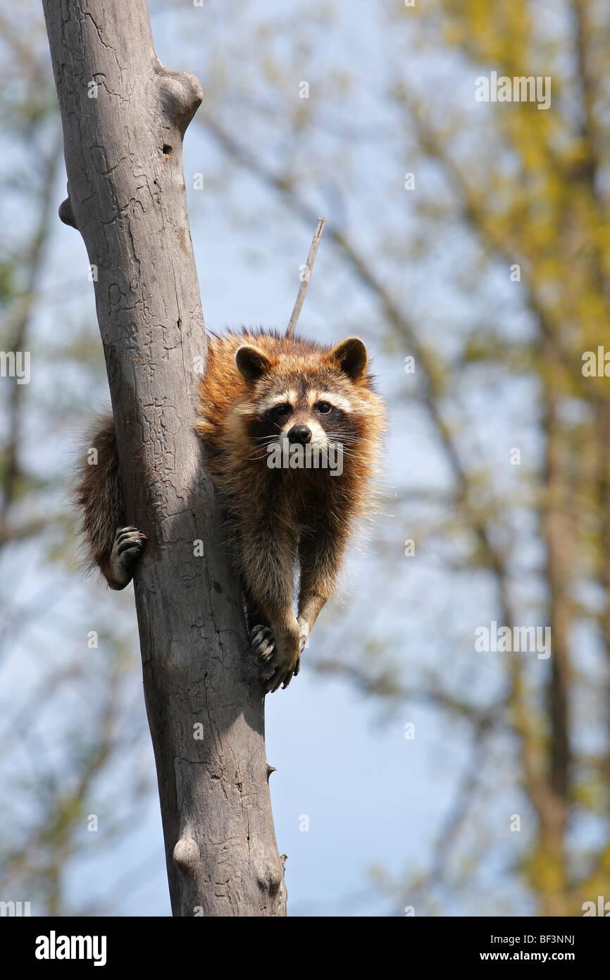Le raton laveur (Procyon lotor) sur un arbre. Photo Stock
