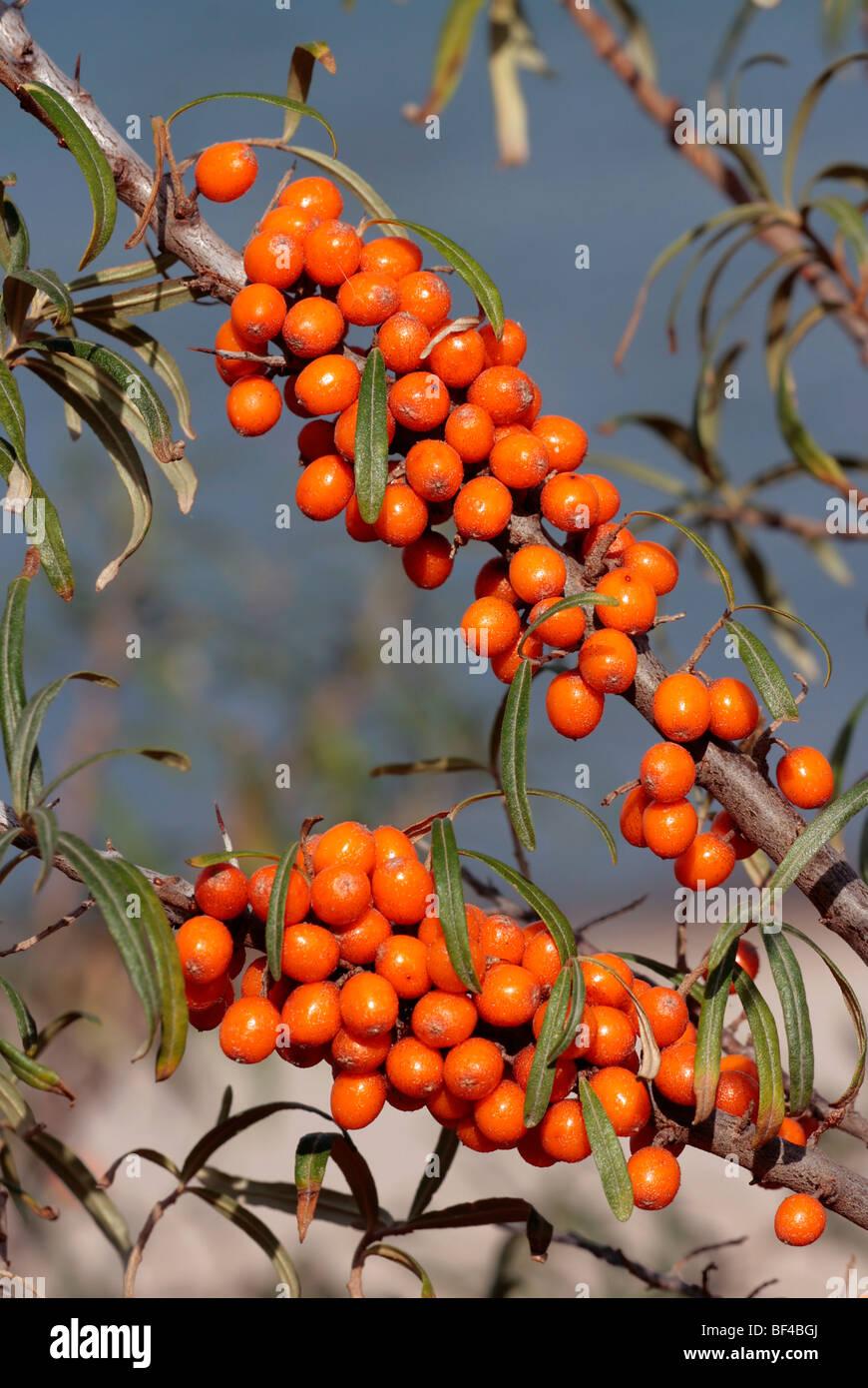 L'argousier (Hippophae rhamnoides) avec des fruits mûrs Banque D'Images