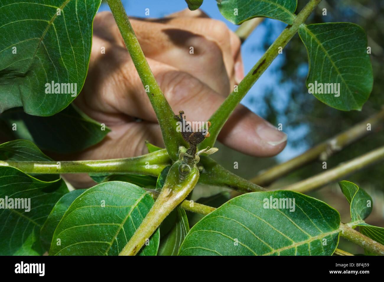 Agriculture - noix immatures morts causés par un gel de printemps inhabituel / près de Dairyville, California, USA. Banque D'Images