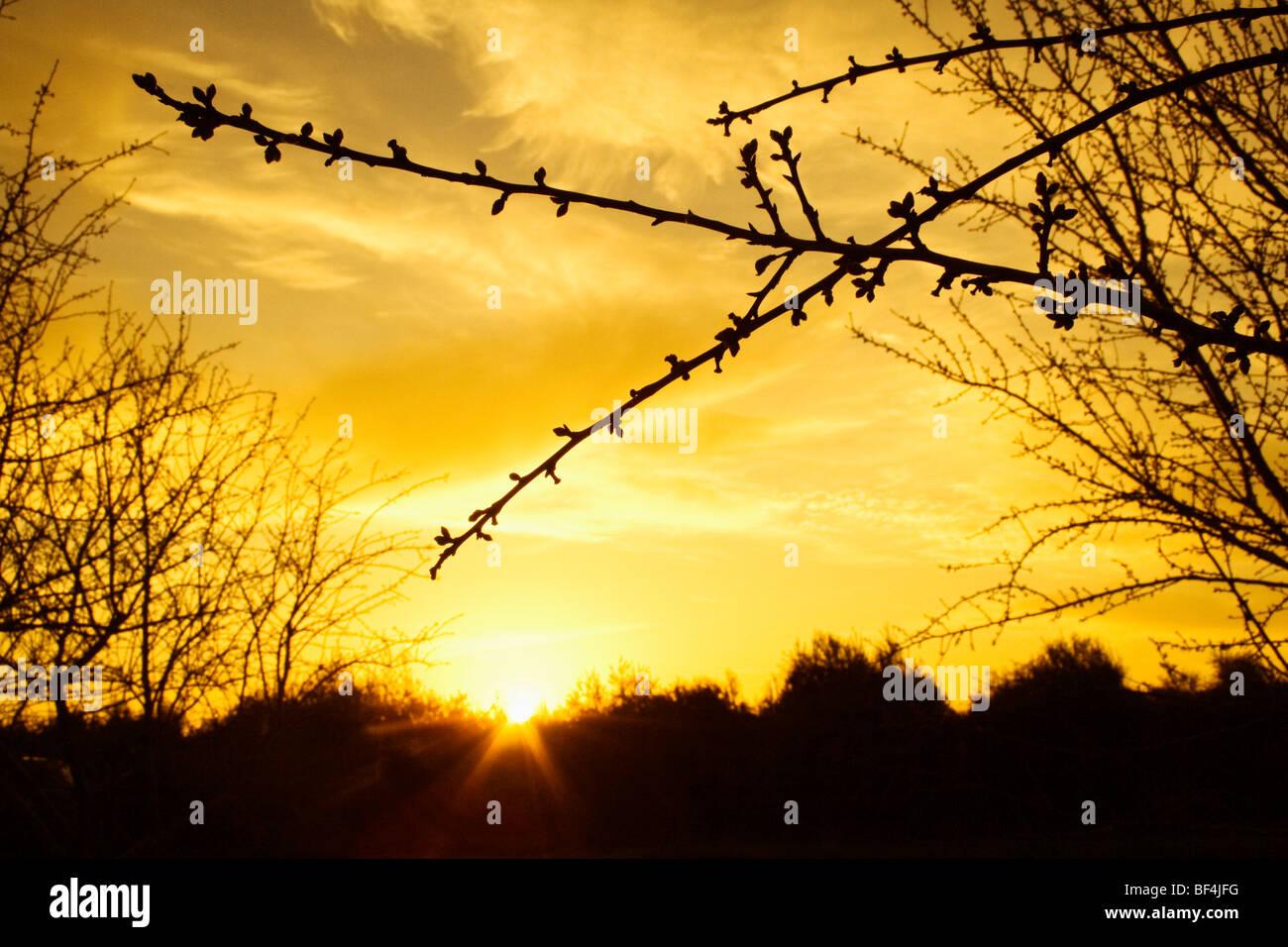 Les branches avec des bourgeons gonflés d'Amande juste avant le débourrement silhouetté par le coucher de soleil Banque D'Images