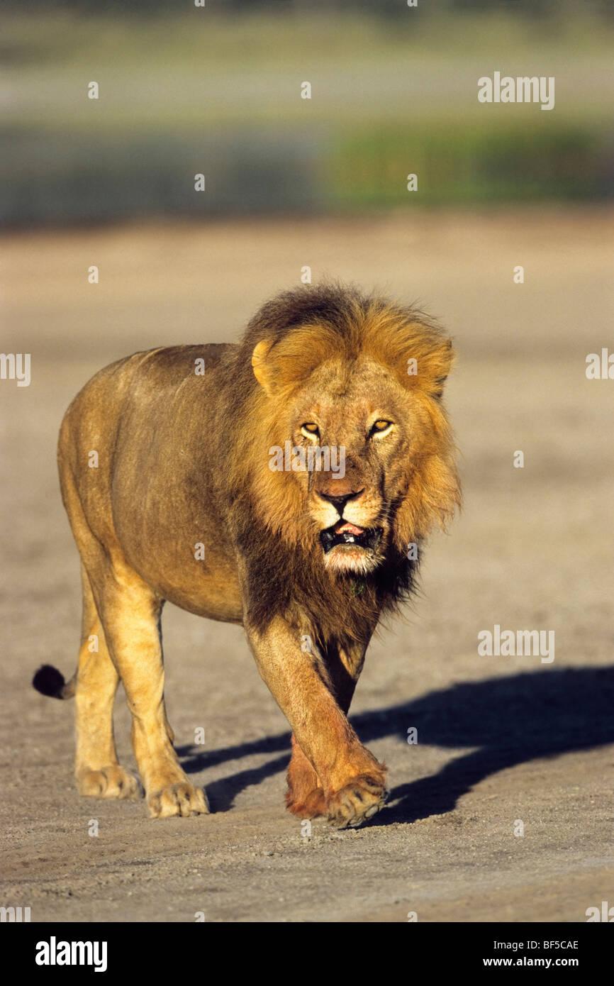 L'African Lion (Panthera leo), homme, Serengeti, Tanzanie, Afrique de l'Est Photo Stock