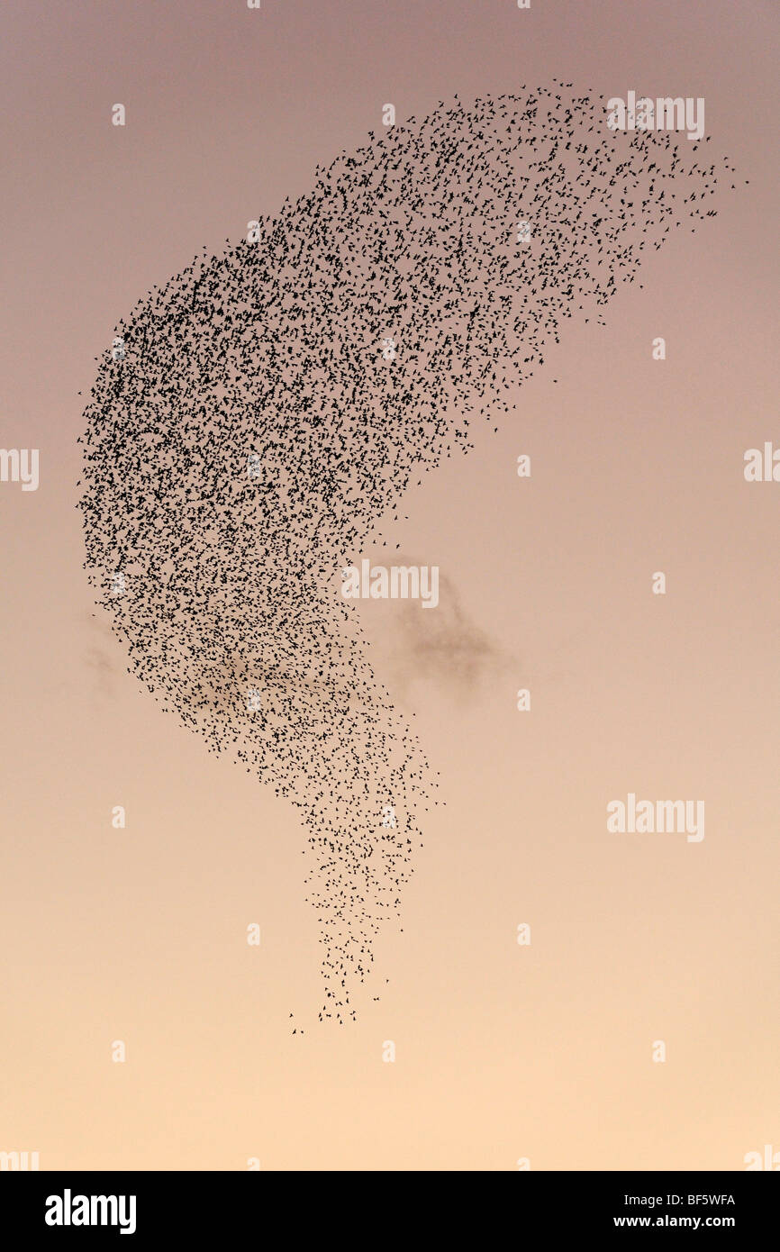 L'Étourneau sansonnet (Sturnus vulgaris), la migration des troupeaux en hiver au coucher du soleil, Rome, Photo Stock
