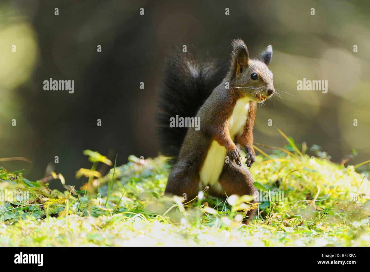 L'écureuil roux (Sciurus vulgaris), la phase noire adultes, Suisse, Europe Banque D'Images