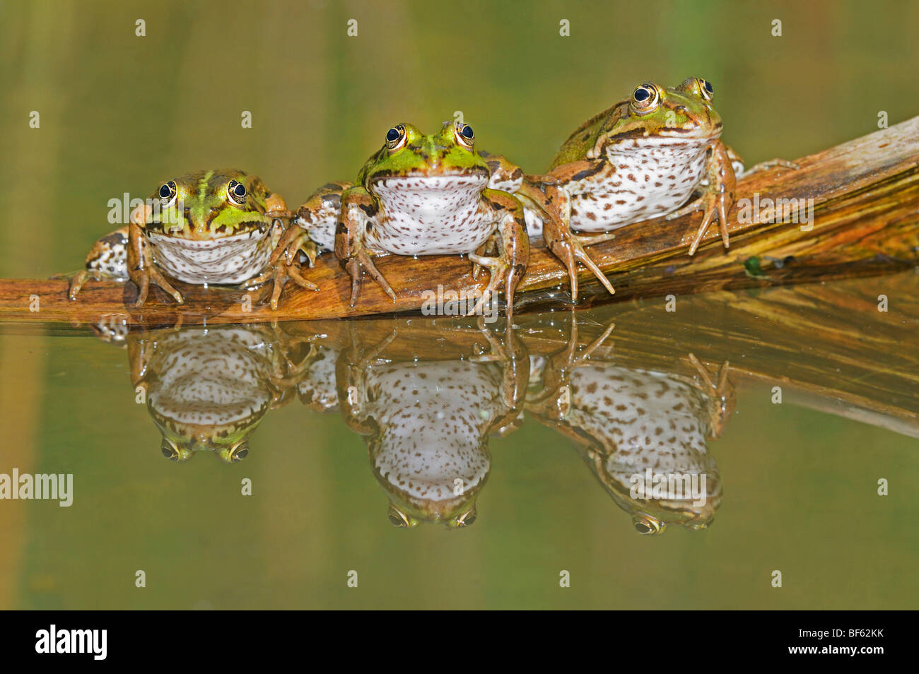 Edible Frog (Rana esculenta), adultes on log, Suisse, Europe Photo Stock