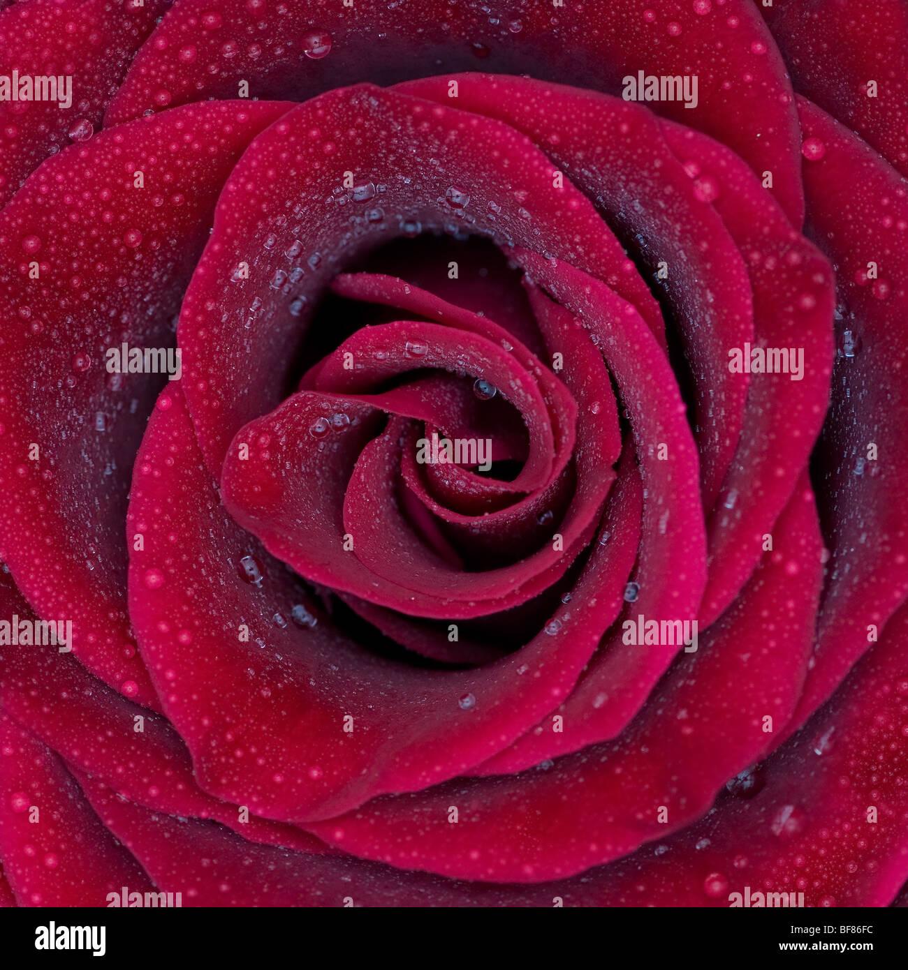 Rose rouge avec de l'eau gouttes Photo Stock