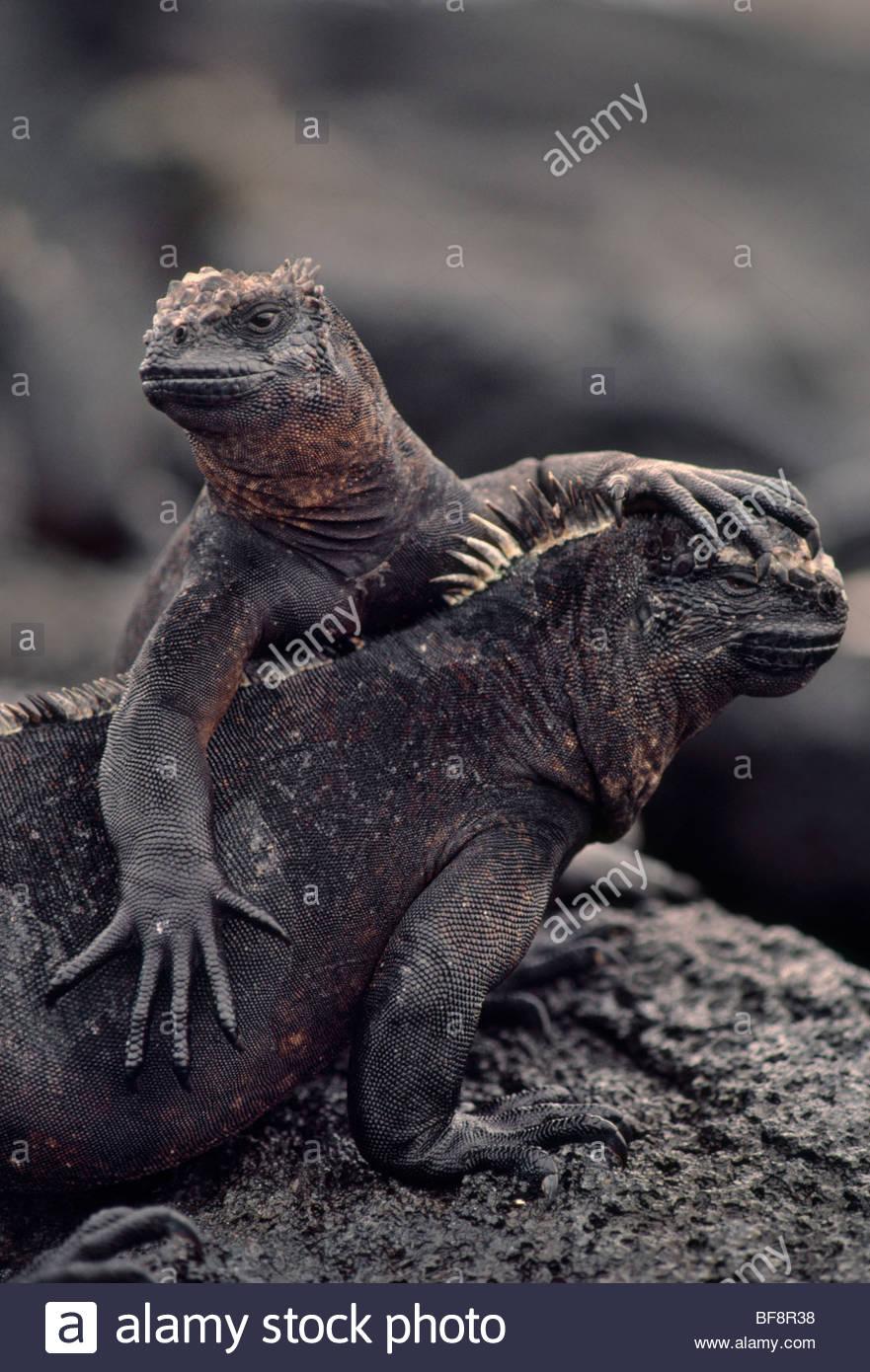 Iguane marin Amblyrhynchus cristatus, paire, Îles Galápagos Photo Stock