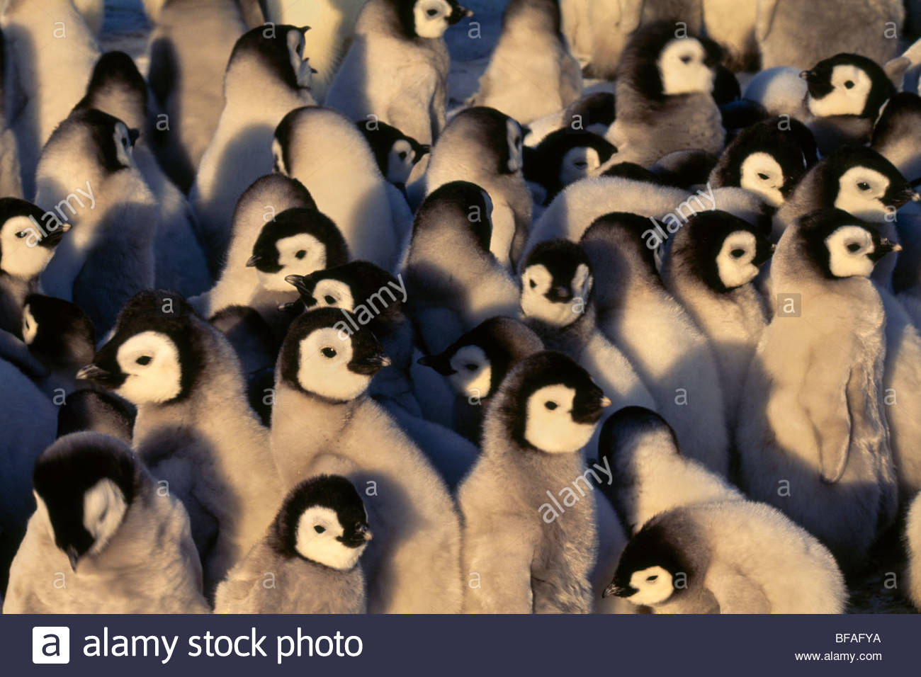 Manchot Empereur poussins piaillent, Aptenodytes forsteri, Antarctique Photo Stock