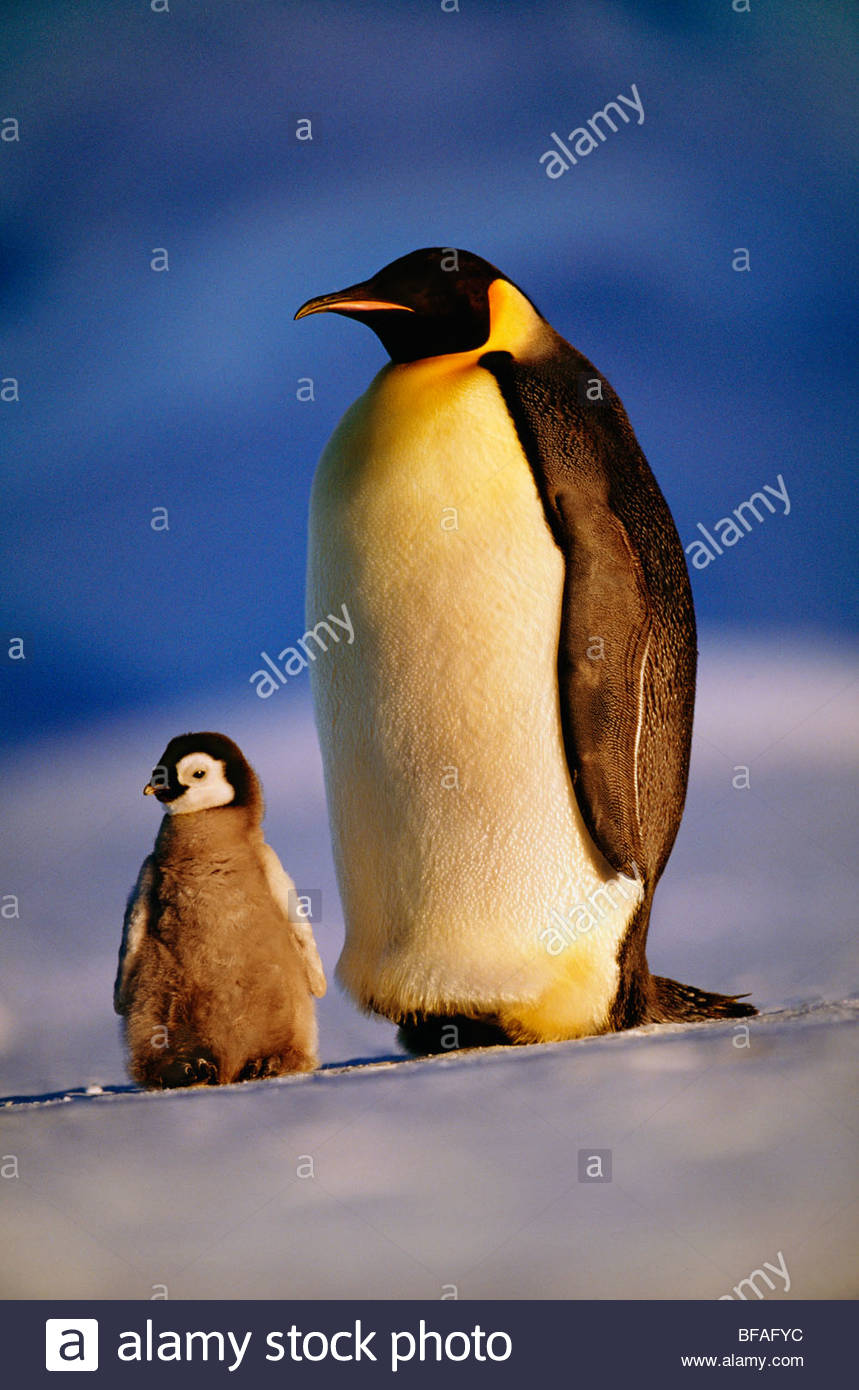 Manchot Empereur avec chick, Aptenodytes forsteri, Antarctique Photo Stock