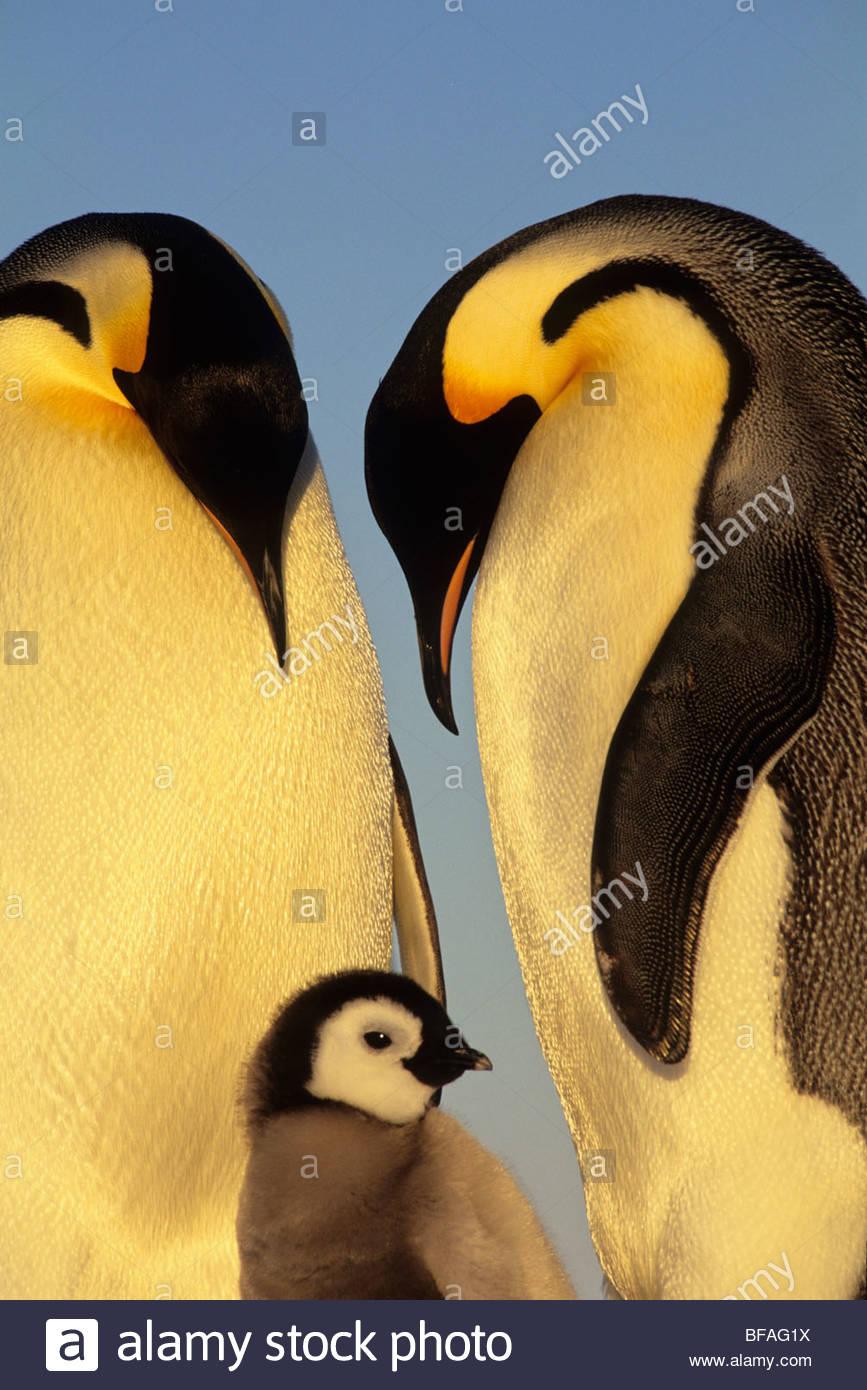 La famille manchot empereur, Aptenodytes forsteri, Antarctique Photo Stock