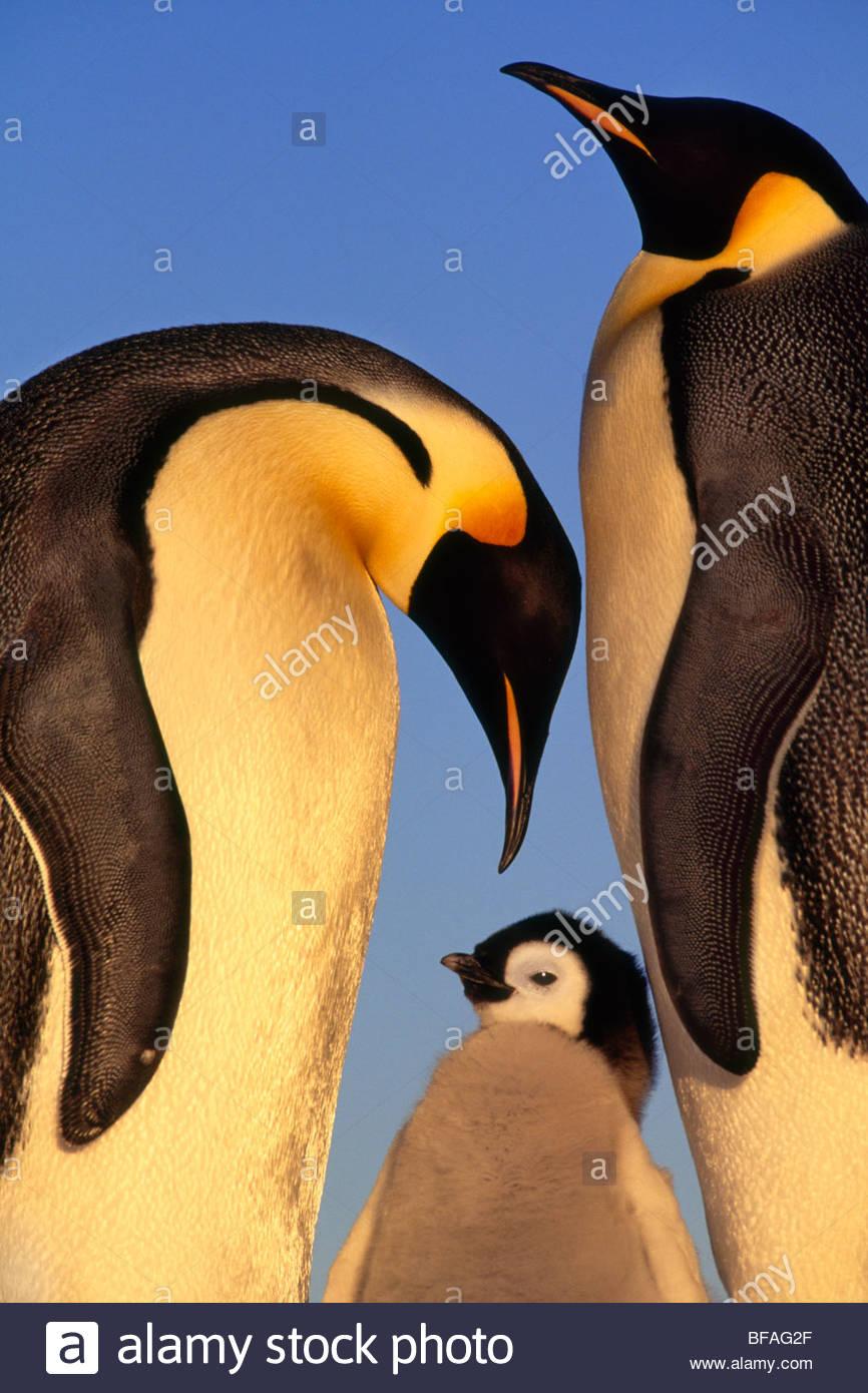 La famille manchot empereur, Aptenodytes forsteri, mer de Weddell, l'Antarctique Photo Stock