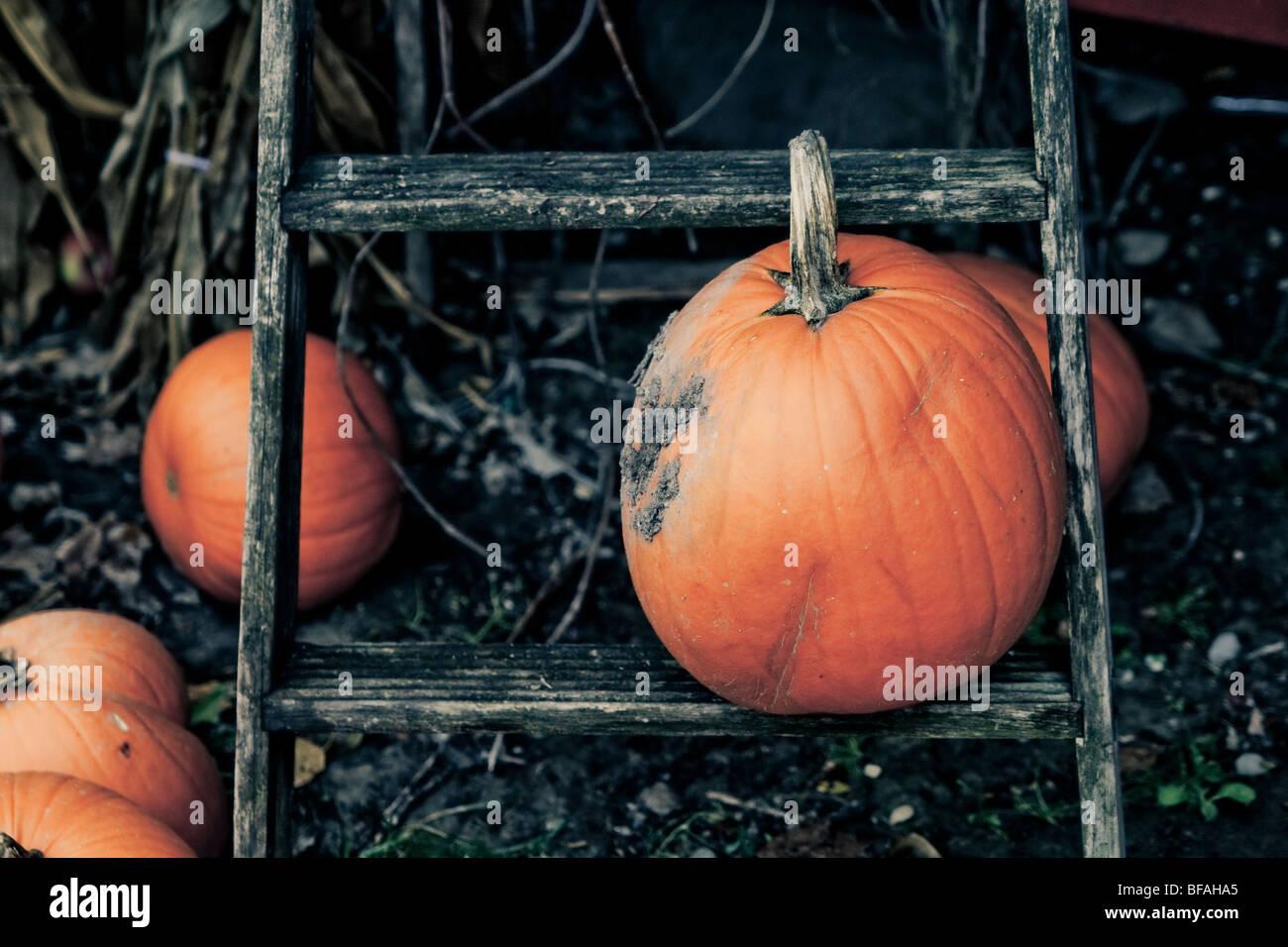 Pumpkins sur une sinistre fond frêne noir Photo Stock