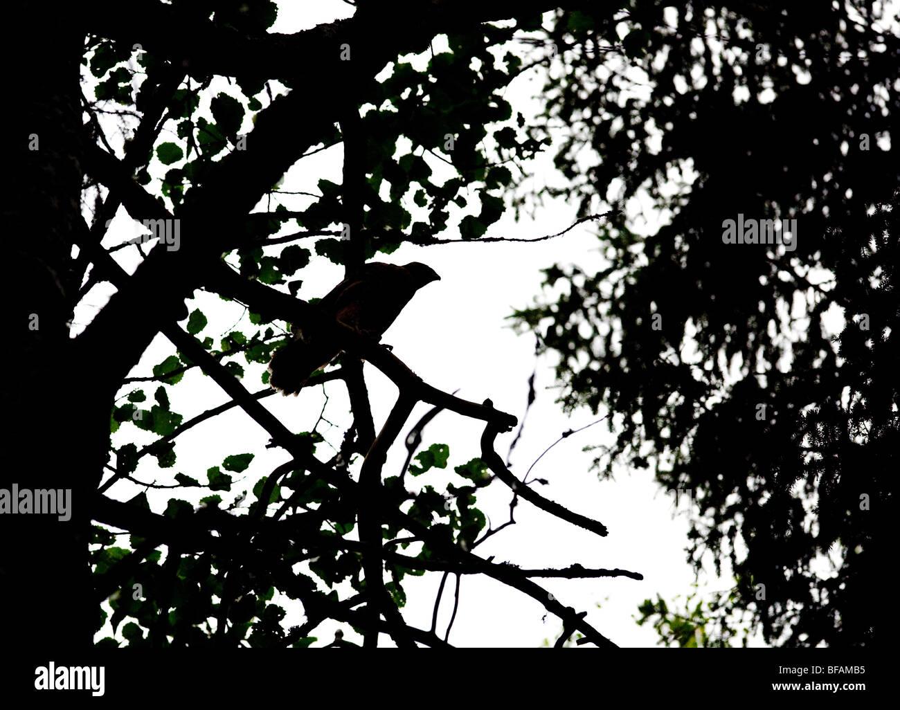 Silhouette d'une jeune Autour des palombes (Accipiter gentilis ) Photo Stock