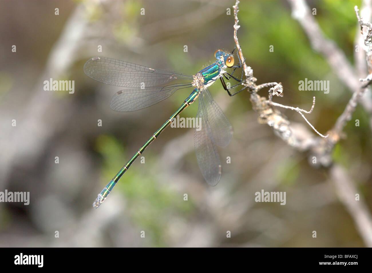 Demoiselle Spreadwing robuste (Lestes dryas) Photo Stock