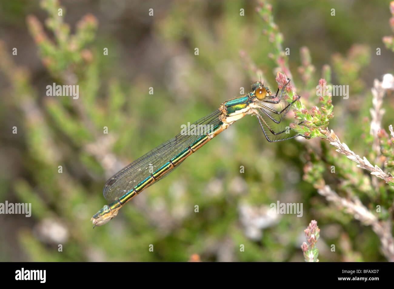 Demoiselle Spreadwing robuste (Lestes dryas) Femmes Photo Stock