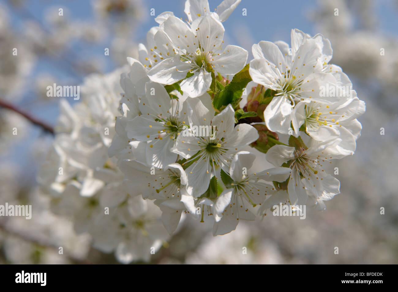 Fleur de cerisier blanc sur les arbres du verger. Photo Stock