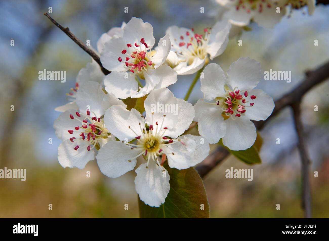 Fleur De Cerisier Blanc Sur Les Arbres Du Verger Banque D Images